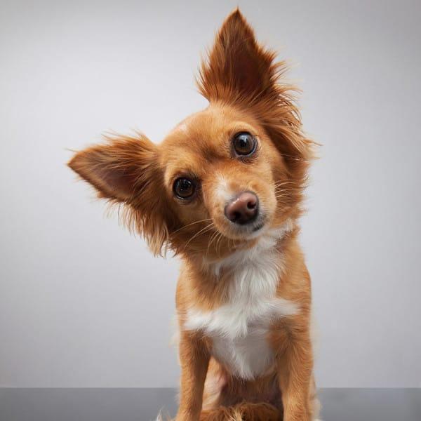 cute dog big ears