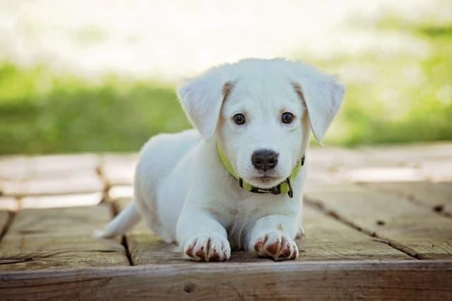 White Puppy Name