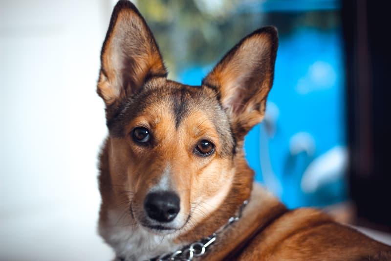 brown-dog-eyes-mammal-vertebrate-dog-breed