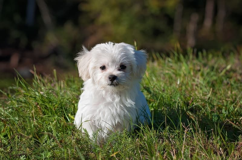 nature-white-meadow-puppy-dog-animal