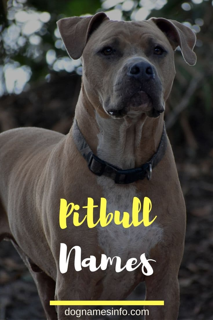 Most Famous Pitbull name for male and female