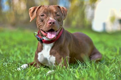 Brown Dog Breeds