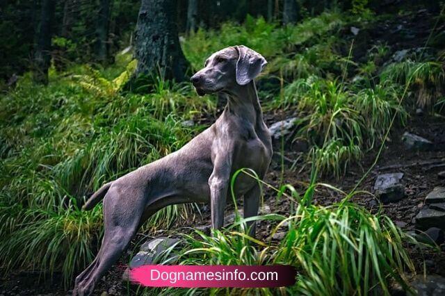 Best Grey Dog Names