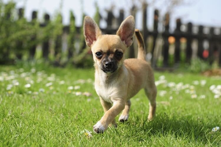 Teacup-Chihuahua-Feature