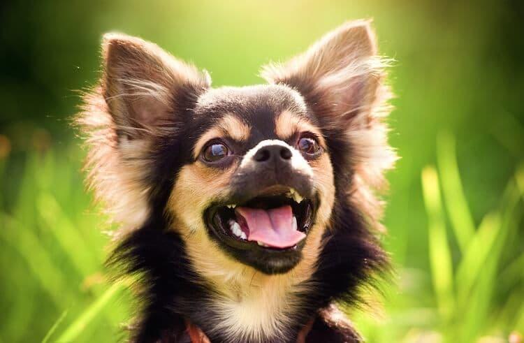 Funny-Chihuahua-Names