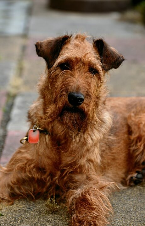 Irish Terrier dog