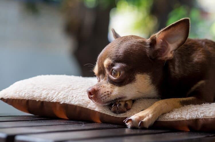 Male-Chihuahua-Names