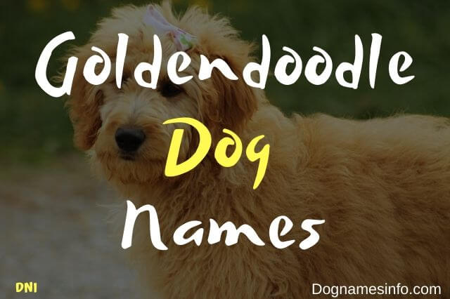 Unique Goldendoodle Names