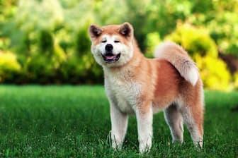 Japanese Boy Dog Names