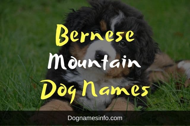 Unique Bernese Mountain Dog Names