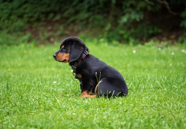 black-and-brown-rottweiler-puppy