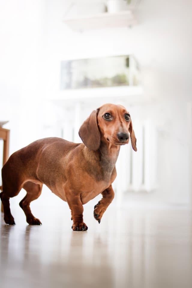 red-dachshund
