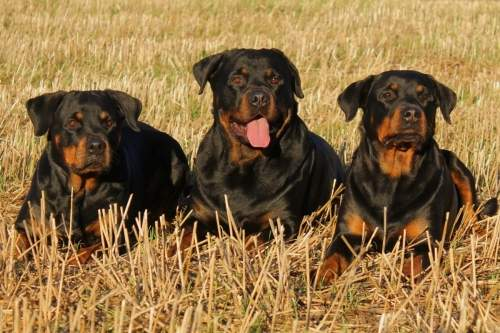 rottweiler_dog_dogs