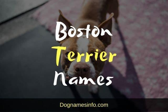Unique Boston Terrier Names