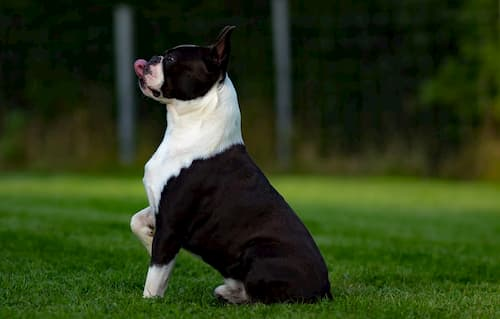 boston-terrier-names