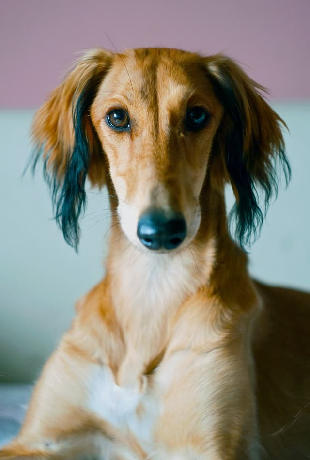 brown-saluki