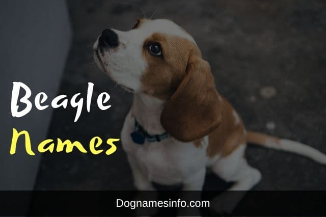 Beagle Names for Dogs
