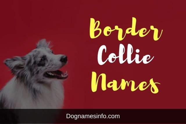 Border Collie Dog Names