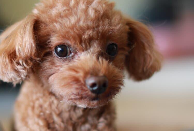 Miniature-Poodle-Names
