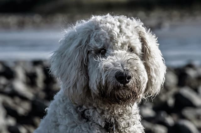 Adorable White Poodle Dog Names