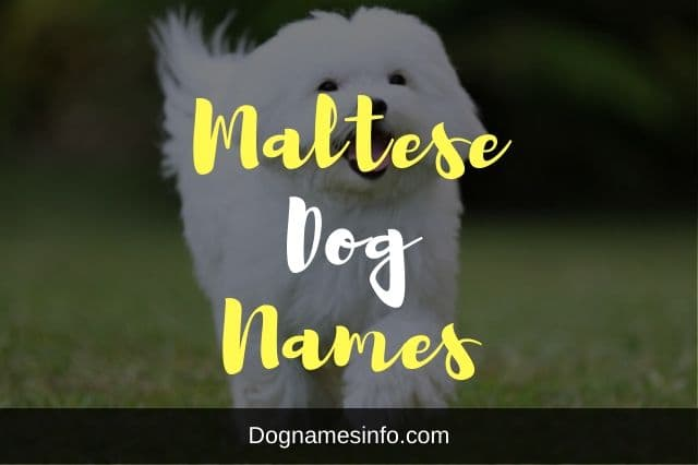 Maltese Dog Names