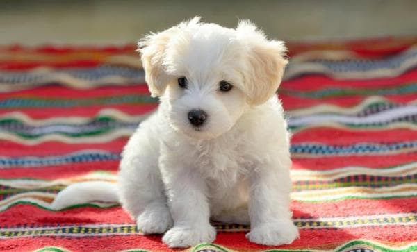 great_names_for_maltese_dogs