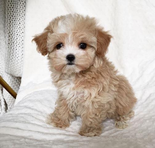 Cool-Maltipoo-dog-names