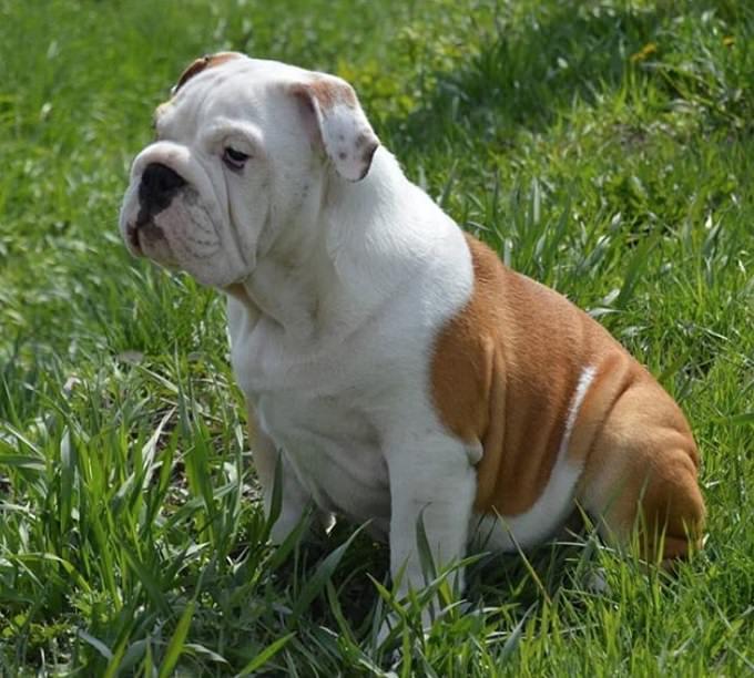 english-bulldog-1