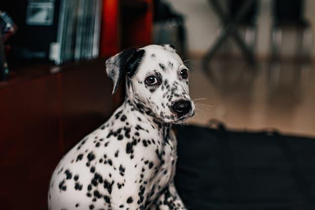 Dalmatians Dog Names