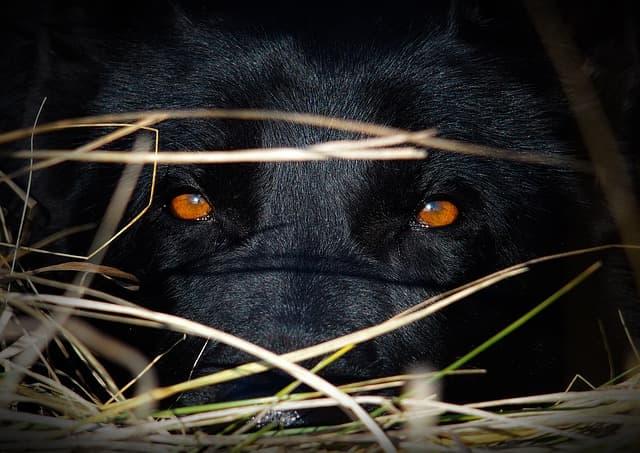 Black German Shepherd eyes