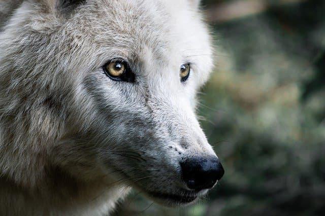 Native American Female Wolf Names