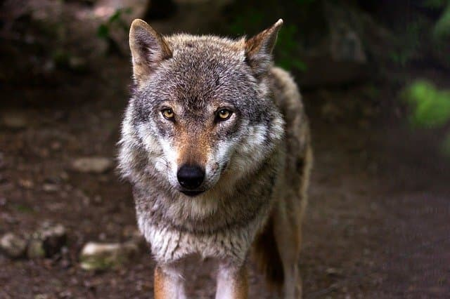 Native American Wolf Names