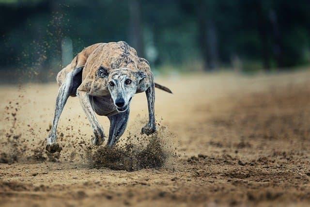 Racing Greyhound Names