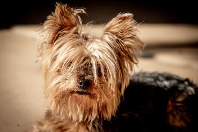 Yorkshire Terrier Names