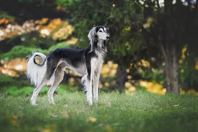nature-dog-greyhound