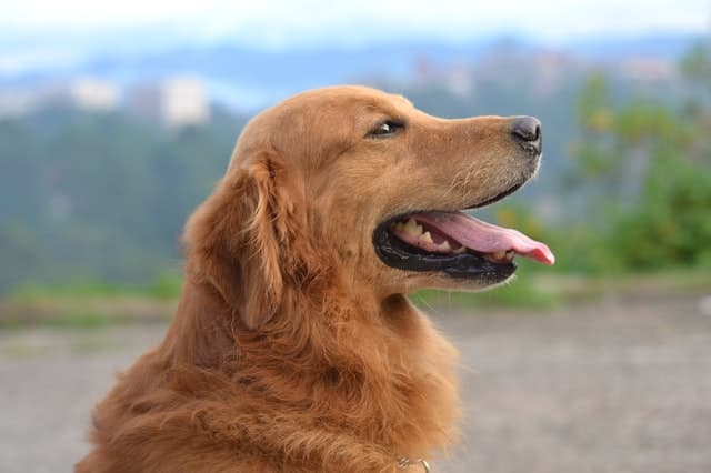 Uncommon Golden Retriever Names
