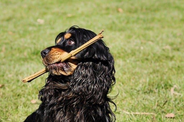 Black Cocker Spaniel Dog Names