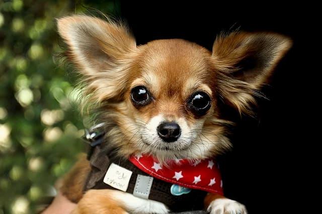Exotic Chihuahua Names