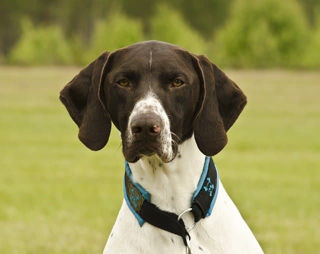 German Shorthaired Pointer Names