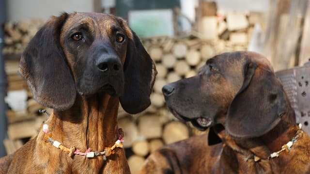 Cool Bloodhound Names