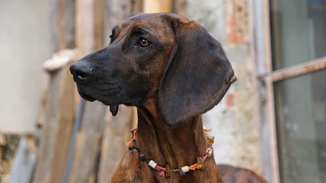 hanoverian-bloodhound