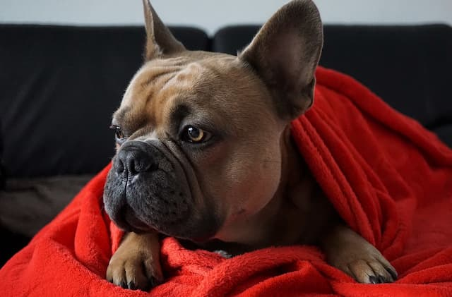 Female Names for French Bulldogs