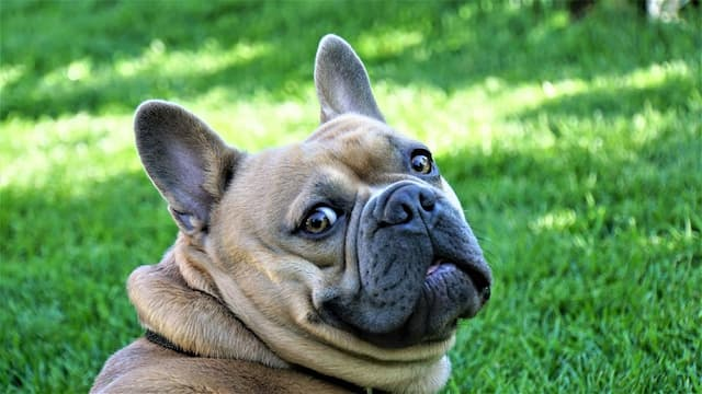 Girl French Bulldog Names