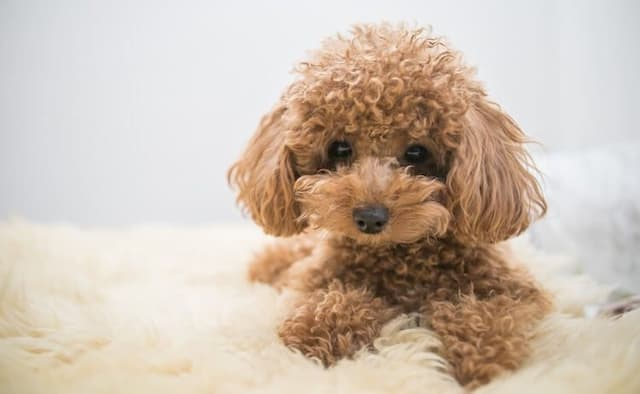17+ Popular french poodle names ideas