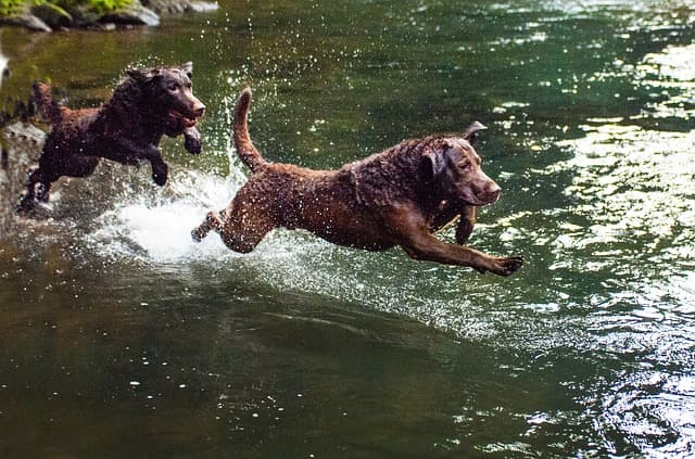 Chesapeake Bay Retriever Dog Names