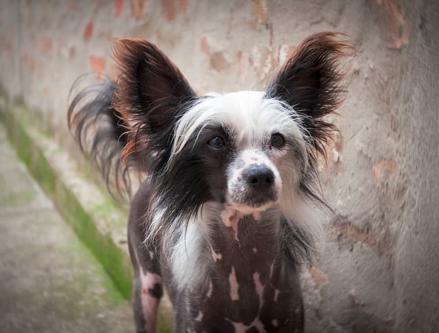 Chinese Crested Boy Names