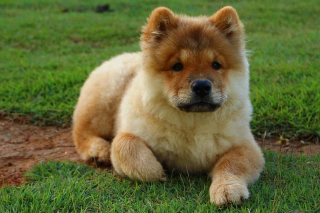 Cool Chow Chow names