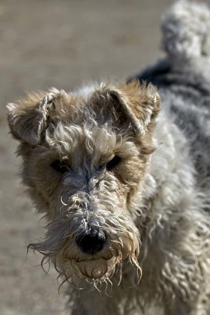 Female Fox Terrier Names