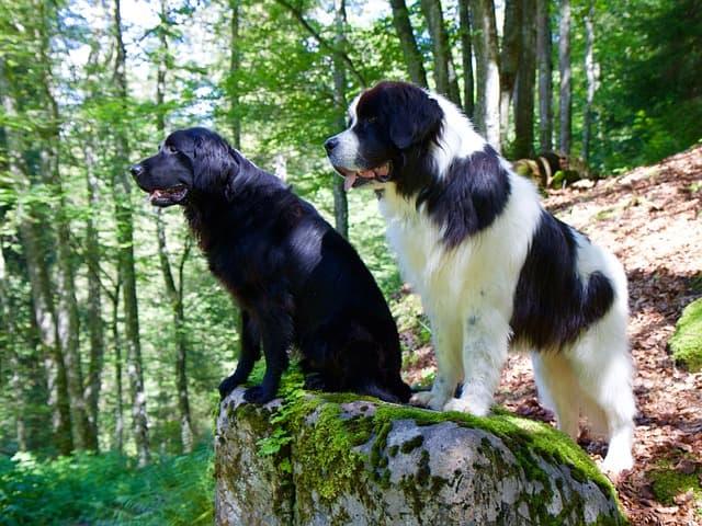Flat-Coated Retriever Dog Names