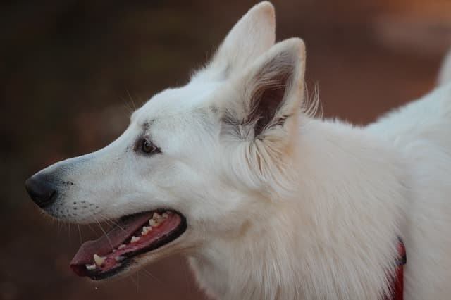 White German Shepherd Names